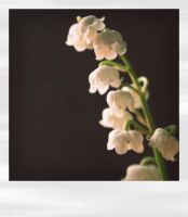 Lily of the Valley II by Gothicemily
