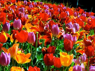 Bed of Tulips 08 by awe-inspired