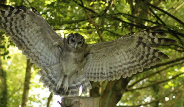 Milky Eagle Owl by Starfish13