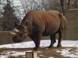 Black Rhinoceros at the Denver Zoo (Different One) by kylgrv