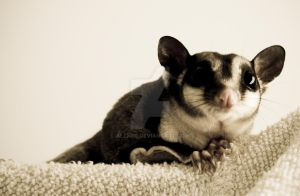 Mauro the cute Sugar Glider by alexdg