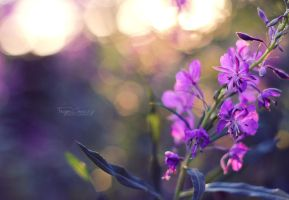 Willow Herb by FreyaPhotos