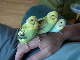 Hand raised baby budgies by macawjacob