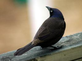 Grackle by LucieG-Stock