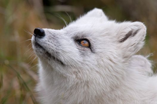 Arctic Fox  8558 by robbobert