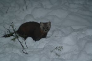 American Marten by ringette-and-riding