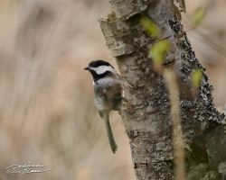 Chickadee on tree trunk 1 by themanitou