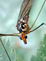 Cranefly by Iris-cup