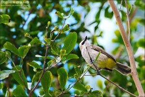Yellow Vented Bulbul - 01 by shiroang