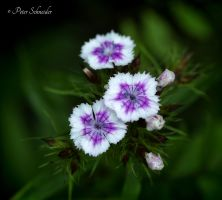 Delicate (II). by Phototubby