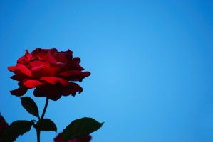 A red, red rose by RowanLewgalon