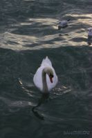 Swan playing water HDR by blueMALOU