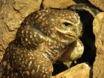 Protective Owl by Soll-DenneGallery