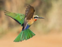 White-throated Bee-eater by Jamie-MacArthur