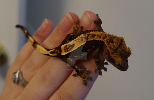 Dragon the Crested Gecko by DragonCresties