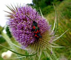 nine-spotted moth on teasel by Mittelfranke
