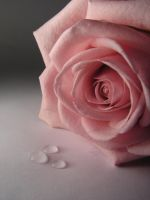 rose 4 by atreja-stock