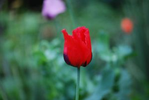 Tulip Outside the Notre Dame by Inu-Kiky
