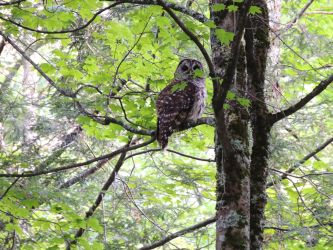 Barred Owl by coco-poof