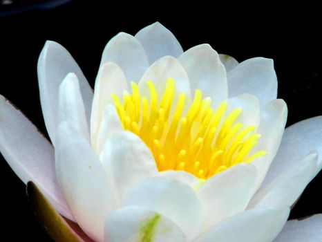 Water Lily Close-up by Synaptica