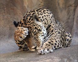 Leopard by Efrosiny