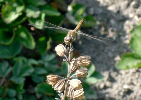 Dragonfly by nosf-3-ratu