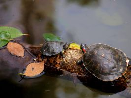 Turtles by stefanialucia