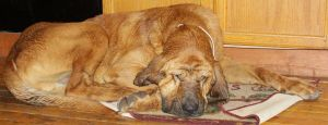 Bloodhound Stock 5 of 11 by Lovely-DreamCatcher