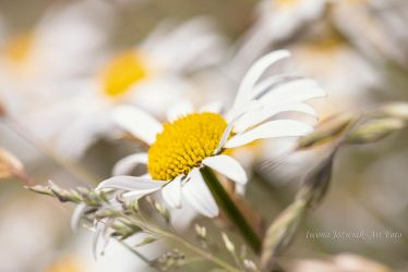 camomile ... by mirandaarts