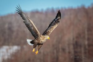 .:White Tailed Eagle III:. by RHCheng