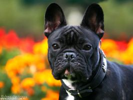 French bulldog by ankaszklanka