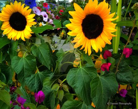 Sunflower  Serenade by DeasignPhotography