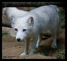 brown - blue eyed fox by morho
