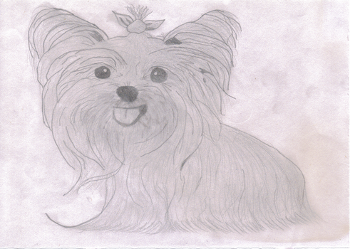Yorkshire terrier by AJE2995