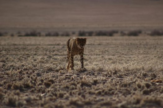 Cheetah run 4 by DoWnHIller