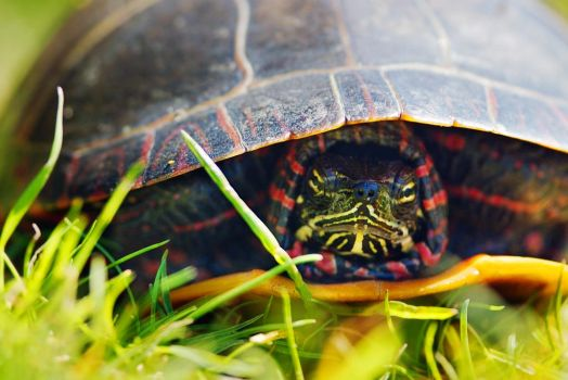 Angry Painted Turtle by Kintarotpc