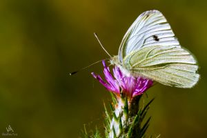 Butterfly Pieris Rapae by VitoDesArts