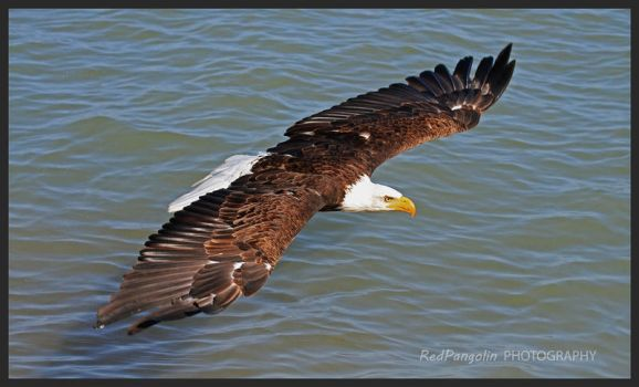 Eagle over the Bay by RedPangolin