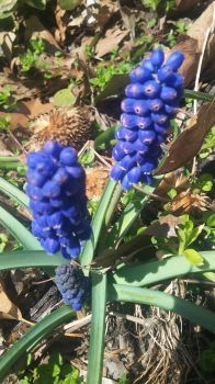 Grape Hyacinth by SharkGirl15