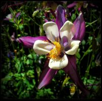 Yellow and Purple Columbine by JocelyneR