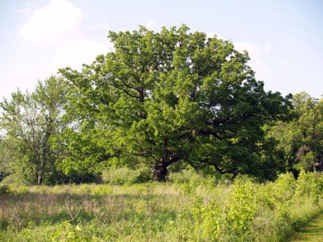 Oak Tree by SolStock