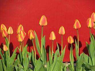 Tulips Against Red by Michies-Photographyy