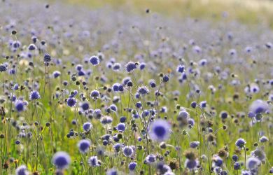 Scabious Flowers by enaruna