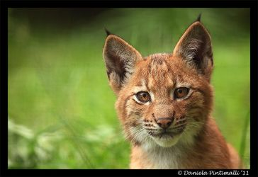 Baby Lynx by TVD-Photography