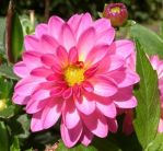 pink dahlia by Guadisaves02