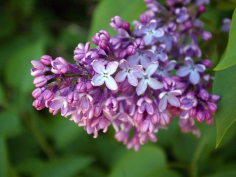 Lilac by Laurilasner