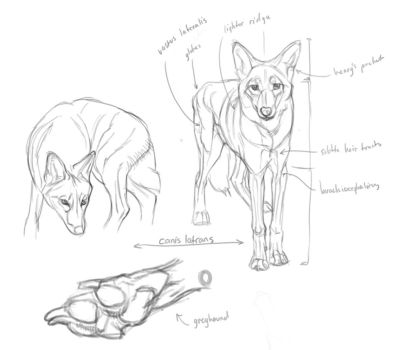 Coyote Sketches 23/01/18 by Servaline