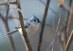 Tufted Titmouse by Mischi3vo