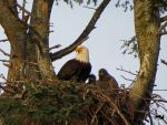 Eagle WIth Eaglets by wolfwings1
