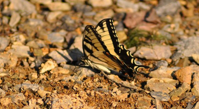 Tiger Swallowtail Butterfly by Flower-of-Grace